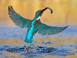 полет зимородка